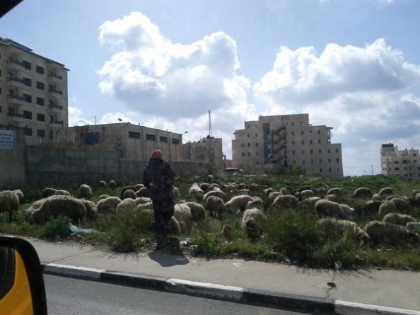 Fåreflok i Ramallah