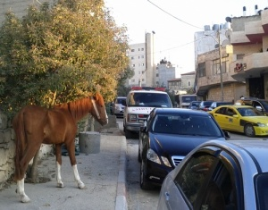 Horse tied to tree in Ramallah